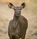 Sambar deer Royalty Free Stock Photo