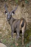Sambar Deer Stock Photos