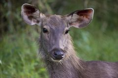 Sambar Deer Royalty Free Stock Images