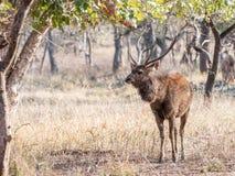 Sambar deer in Ranthambore National Park, India. Sambar deer buck grazing in Ranthambore National Park in Rajasthan, India royalty free stock photography