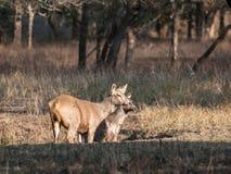 Sambar deer in Ranthambore National Park, India. Sambar deer in Ranthambore National Park in Rajasthan, India royalty free stock image