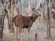 Sambar deer in Ranthambore National Park, India. Sambar deer in Ranthambore National Park in Rajasthan, India royalty free stock photos
