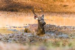 Sambar Deer relaxing in mud Stock Photo