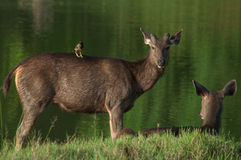 Sambar deer in the river Royalty Free Stock Images