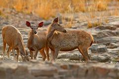 Sambar deer, Rusa unicolor, large animal, Indian subcontinent, China, nature habitat. Bellow majestic powerful adult animal in sto Royalty Free Stock Photo
