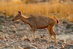 Sambar deer, Rusa unicolor, large animal, Indian subcontinent, China, nature habitat. Bellow majestic powerful adult animal in sto Royalty Free Stock Image