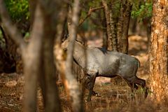 Sambar deer, Rusa unicolor, large animal, Indian subcontinent, Rathambore, India. Deer, nature habitat. Bellow majestic powerful a. Nimal Royalty Free Stock Photos