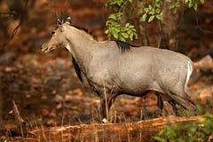 Sambar deer, Rusa unicolor, large animal, Indian subcontinent, Rathambore, India. Deer, nature habitat. Bellow majestic powerful a. Nimal Stock Photography
