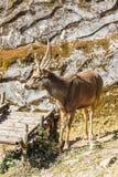 The Sambar deer Rusa unicolor live in Padmaja Naidu Himalayan Zoological Park at Darjeeling, India.  Stock Photography