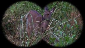 Sambar deer rusa unicolor seen through binoculars. Watching animals at wildlife safari. Shot with a Sony a6300 fps 29,97 4k stock video footage