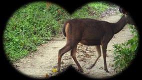 Sambar Deer Rusa unicolor Seen through Binoculars. Watching Animals at Wildlife Safari. Shot with a Sony a6300 fps 29,97 4k stock video