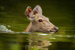 Sambar deer(Rusa unicolor ) Stock Photo