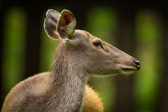 Sambar deer(Rusa unicolor ) Royalty Free Stock Photography