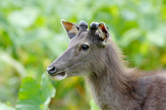 Sambar deer Rusa unicolor. Wildlife Stock Image