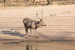 Sambar Deer, Sariska, Rajasthan. The sambar Rusa unicolor is a large deer native to the Indian subcontinent. The name sambar is also sometimes used to refer to Stock Images