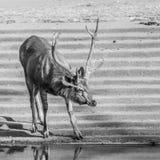 Sambar Deer, Sariska, Rajasthan Stock Image