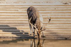 Sambar Deer, Sariska, Rajasthan. The sambar Rusa unicolor is a large deer native to the Indian subcontinent. The name sambar is also sometimes used to refer to Royalty Free Stock Photos