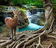 Sambar deer standing beside bayan tree root in front of lime sto Royalty Free Stock Photo
