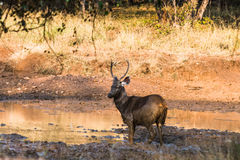 Sambar Deer standing in mud Royalty Free Stock Photo