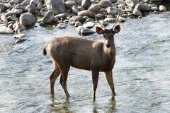 A Sambar deer standing in water Stock Photos