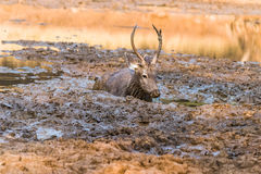 Sambar Deer. Sub-Adult Male Sambar Deer laying in mud Royalty Free Stock Image