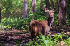 Sambar deer in sun. Canon 6D 400mm ISO 600 1/2500 f4.0 Royalty Free Stock Image