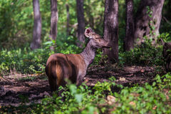 Sambar deer in  a sunny day. Canon 6D 400mm ISO 600 1/2500 f4.0 Royalty Free Stock Photos