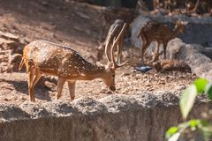 Sambar Deer in in Trivandrum, Thiruvananthapuram Zoo Kerala India. Sambar Deer walking in in Trivandrum, Thiruvananthapuram Zoo Kerala India Stock Photography