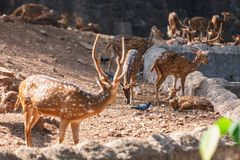 Sambar Deer in in Trivandrum, Thiruvananthapuram Zoo Kerala India. Sambar Deer walking in in Trivandrum, Thiruvananthapuram Zoo Kerala India Stock Image
