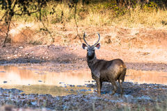 Sambar Deer watching Stock Image