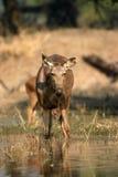 Sambar deer in water Royalty Free Stock Images