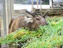 Sambar deer in  Wild Animal Caring and Breeding Center Royalty Free Stock Images