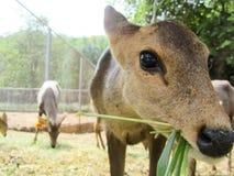 Sambar deer in  Wild Animal Caring and Breeding Center Stock Images