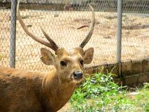 Sambar deer in  Wild Animal Caring and Breeding Center Stock Image