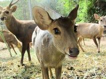 Sambar deer in  Wild Animal Caring and Breeding Center Stock Photo