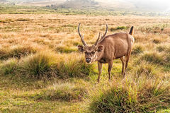 Sambar deer in wild Royalty Free Stock Image