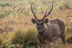 Sambar deer in wild nature Stock Image