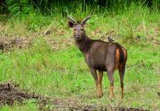 Sambar Deer Royalty Free Stock Images