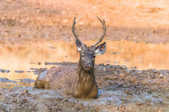 Sambar Deer. Young Sambar Deer laying in mud and playing Stock Images