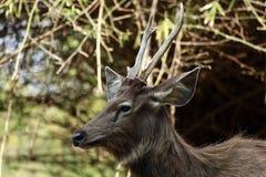 Sambar deer Stock Photos