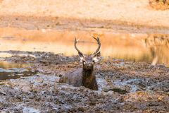 Sambar Deer. Young Sub-Adult Sambar Deer laying in mud Stock Photography