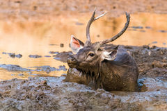 Sambar Deer. Young Sub-Adult Sambar Deer laying in  mud and smelling Royalty Free Stock Photography