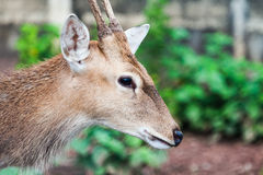Sambar Deer Stock Photo
