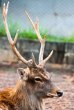 Sambar Deer. The sambar deer at zoo in Thailand Stock Photography