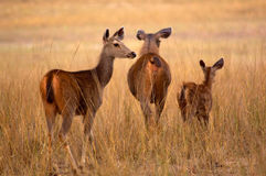 Sambar deers Royalty Free Stock Photo