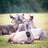 Sambar deers. Royalty Free Stock Photography