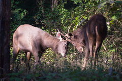 Sambar deers fighting Stock Photo