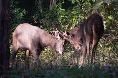 Sambar deers fighting Stock Photo