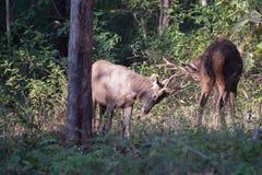 Sambar deers fighting Royalty Free Stock Photos