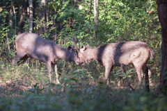 Sambar deers head to head Royalty Free Stock Photo